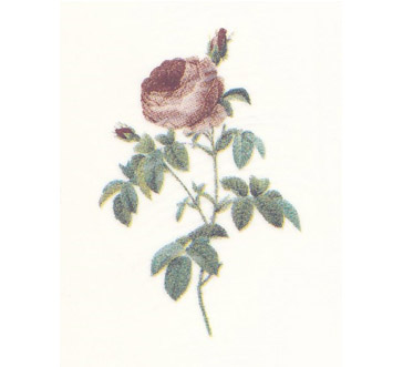 DDR - Damask Rose